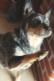 Australian Cattle dog. The power of love through animals Stock Images