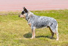 Australian Cattle Dog in profile. Royalty Free Stock Image