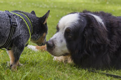 Australian Cattle Dog pup and Bernese Mountain Dog Royalty Free Stock Image