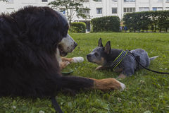 Australian Cattle Dog pup and Bernese Mountain Dog. An eight weeks old male Australian Cattle Dog pup saying hi to an adult male Bernese Mountain dog while the Stock Images