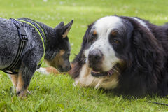 Australian Cattle Dog pup and Bernese Mountain Dog Stock Images