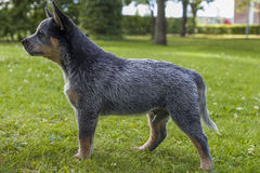 Australian Cattle Dog pup on the green grass. An 8 weeks young male Australian Cattle Dog on the green grass in a residental area stock photo