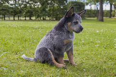 Australian Cattle Dog pup on the green grass. An 8 weeks young male Australian Cattle Dog on the green grass in a residental area stock photography