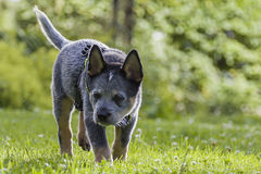 Australian Cattle Dog pup on the green grass. An 8 weeks young male Australian Cattle Dog on the green grass in a residental area royalty free stock image
