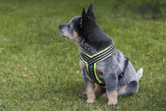 Australian Cattle Dog pup on the green grass. An 8 weeks young male Australian Cattle Dog on the green grass in a residental area Stock Image