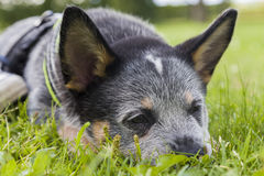 Australian Cattle Dog pup relaxing on the grass. An 8 weeks old Australian Cattle Dog resting up in the green grass after playing with a friend Stock Photo