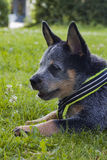 Australian Cattle Dog pup relaxing on the grass. An 8 weeks old Australian Cattle Dog resting up in the green grass after playing with a friend Royalty Free Stock Images