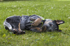 Australian Cattle Dog pup relaxing on the grass. An 8 weeks old Australian Cattle Dog resting up in the green grass after playing with a friend Stock Photography