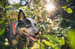 Australian Cattle Dog in the rainforest. Blue Heeler Dog walks through rainforest with sunshine in the background Royalty Free Stock Photography
