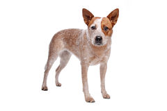 Australian Cattle Dog (red coat). In front of white background royalty free stock photos