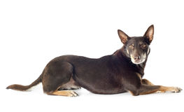 Australian cattle dog. Red australian cattle dog in front of white background Stock Photo