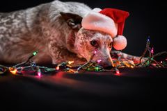 Australian cattle dog in Santa hat. With colored lights Stock Image