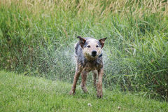 Australian Cattle Dog Shaking off the pond water. After taking a swim Stock Photo