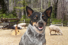 Australian Cattle Dog With Sheep in Background. Closeup of a happy Australian Cattle Dog with an open field and sheep in the background Royalty Free Stock Image