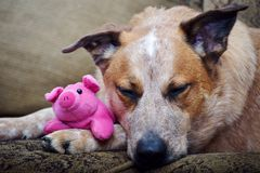 Australian Cattle Dog Sleeping With Stuffed Piglet Stock Images