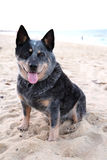 Australian Cattle Dog Stock Photo