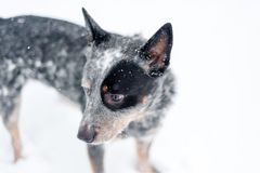 Australian Cattle Dog in Snow Stock Photography