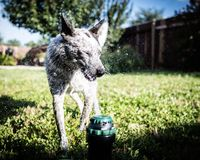 Australian cattle dog sprinkler. Australian cattle dog playing in sprinkler Stock Photos
