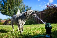Australian cattle dog sprinkler. Australian cattle dog playing in sprinkler Royalty Free Stock Photos