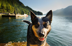 Australian Cattle Dog standing on dock. With mountains and ocean water royalty free stock images