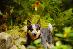 Australian Cattle Dog standing in nature. With greenery and ferns stock photos