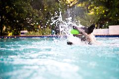 Australian cattle dog swimming. With ball stock photos