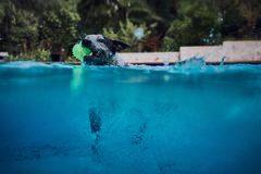 Australian cattle dog swimming with ball Royalty Free Stock Image