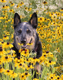 Australian Cattle Dog in Wildflowers Royalty Free Stock Images