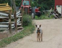 Australian cattle dog working on the farm. Australian cattle dog Blue Heeler working on the farm Stock Photos