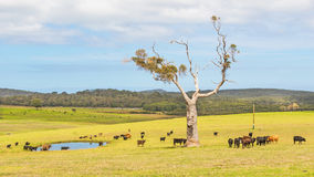 Australian Cattle Farm Royalty Free Stock Images