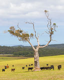 Australian Cattle Farm Stock Images