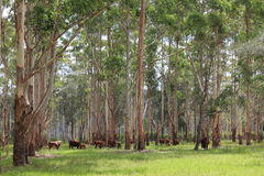 Free Australian Cattle Farming Under Trees In Summer Stock Images - 22608034