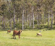 Australian cattle scene Royalty Free Stock Photography