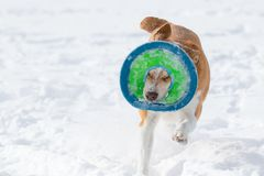 Australian cattle dog playing fetch in the snow in the snow. Australian cattle shepherd red heeler mix breed playing fetch in the snow with a catching disc royalty free stock image