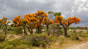 Australian Christmas Tree Royalty Free Stock Images