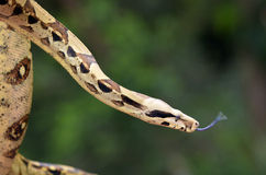 Australian Coastal Carpet Python royalty free stock photo
