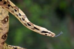 Australian Coastal Carpet Python Royalty Free Stock Photo