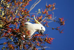 Australian Cockatoo eating Royalty Free Stock Images