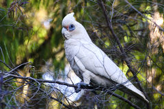 Australian cockatoo. A wild cockatoo sits in a tree in Perth, Australia Stock Image