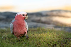 Australian common galah eating grass Royalty Free Stock Photos