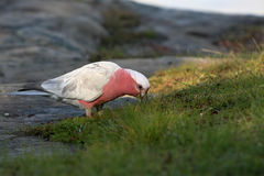 Australian common galah eating grass Royalty Free Stock Photo