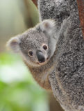Australian common koala bear baby. Australian Koala Bear with her baby, Sydney, Australia grey bear Royalty Free Stock Photography