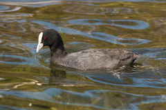 Australian Coot searching  for food Royalty Free Stock Images