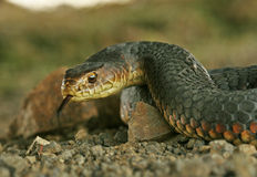 Australian copperhead snake. A closeup of an Australian Copperhead Snake, one of the most dangerous snakes in the world Royalty Free Stock Photo