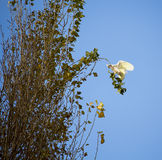 Australian Corella Flying to a poplar tree branch in late autumn. Stock Image
