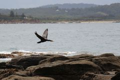 Australian cormorant flying at Broulee Island Stock Photo