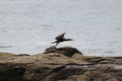Australian cormorant flying Royalty Free Stock Photos