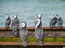 Australian Cormorants on a rails Royalty Free Stock Photo