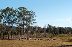 Australian country cattle herd with gum trees Stock Photos