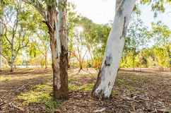 Australian countryside with Eucalyptus trees Royalty Free Stock Image